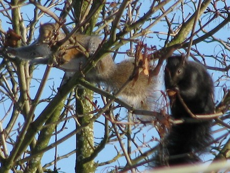 squirrels in local tree